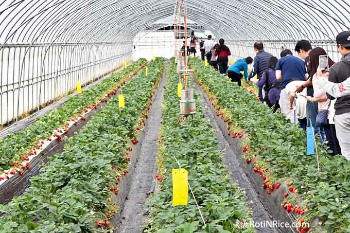 Strawberry farm at a Yamanashi fruit garden
