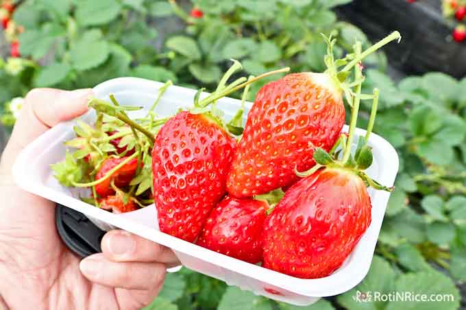 Strawberry picking and eating at a strawberry farm in Yamanashi.