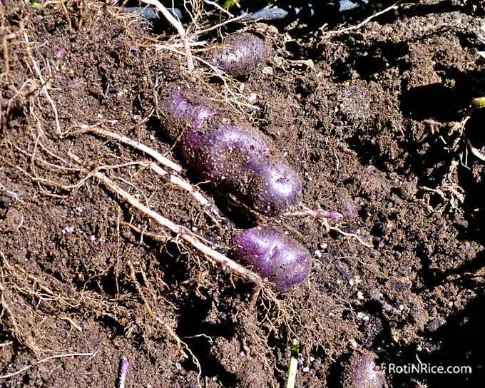 Beautiful purple potatoes