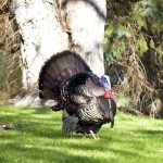 The Turkey Strut and Duck Waddle