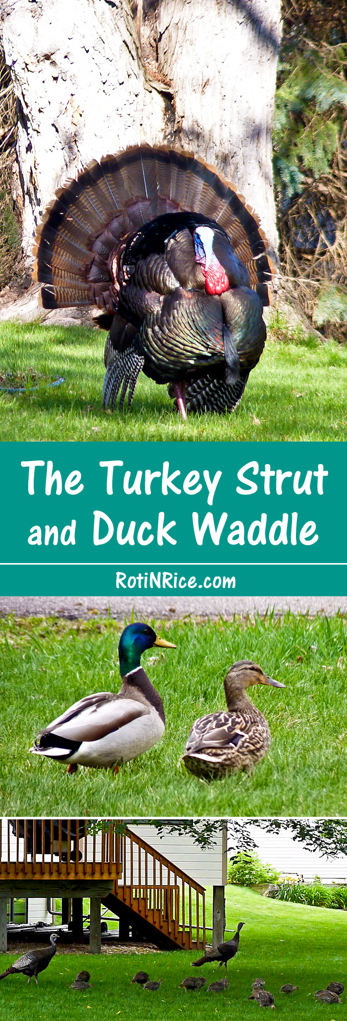 The Turkey Strut and Duck Waddle – watch this gobbler, display, fan, and strut in pursuit of a mate and a handsome pair of Mallard ducks waddling in the Prairie.| RotiNRice.com