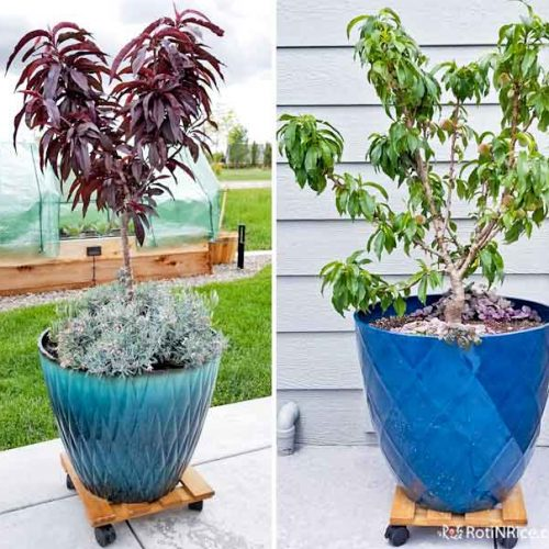 How to Grow Miniature Peach Trees in Containers - a short tutorial with step-by-step pictures on growing miniature/dwarf fruit trees in a small garden. | RotiNRice.com #miniaturepeachtrees #containergardening