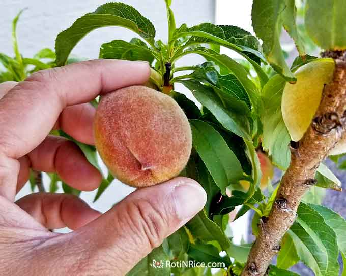 Peaches on the Pix Zee Miniature Peach Tree growing larger and changing color.