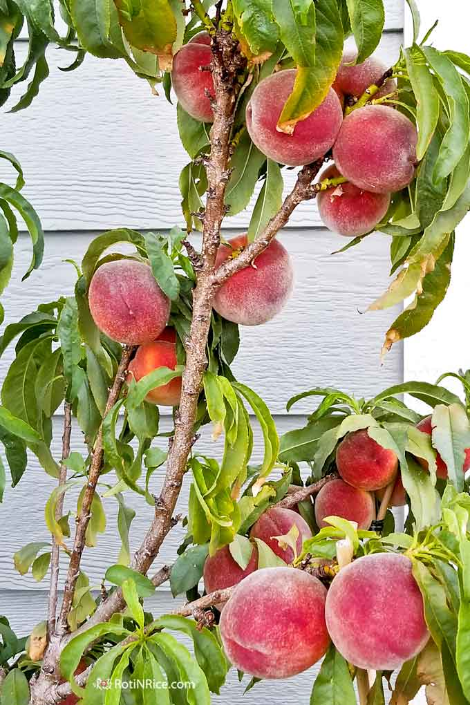 Beautiful peaches on the Pix Zee Miniature Peach Tree.
