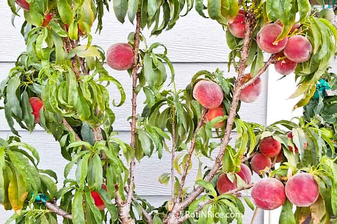 More beautiful peaches on our Pix Zee Miniature Peach Tree