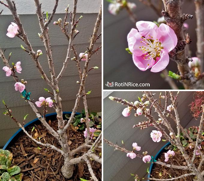 Our Pix Zee Miniature Peach Tree is blooming!