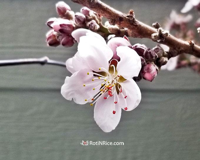 Pale pink peach flower of the Bonfire Dwarf Patio Peach Tree.