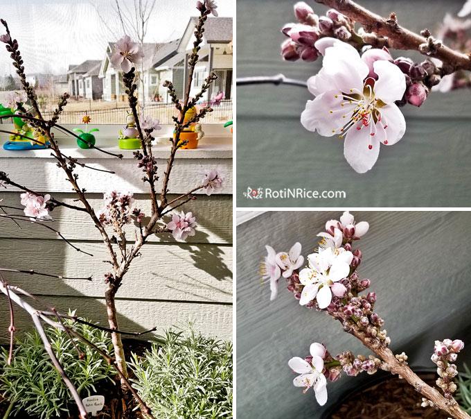 Blossoms of the Bonfire Dwarf Patio Peach Tree,