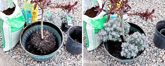 Transferring the miniature peach tree and complementary plants to the container.