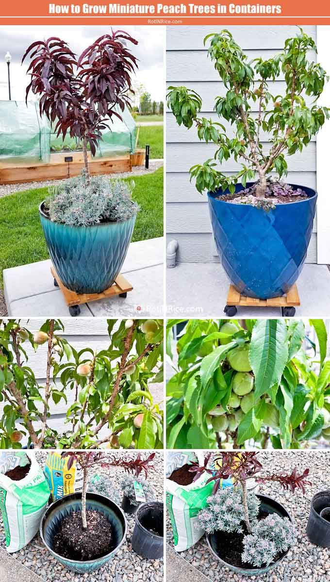 How to Grow Miniature Peach Trees in Containers - a short tutorial with step-by-step pictures on growing miniature/dwarf fruit trees in a small garden. | RotiNRice.com