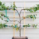 Trying my hand at growing a 6-in-1 Espalier Apple Tree in a Container. This amazing tree has 3 tiers with 6 varieties of apples grafted onto a central stem! | RotiNRice.com