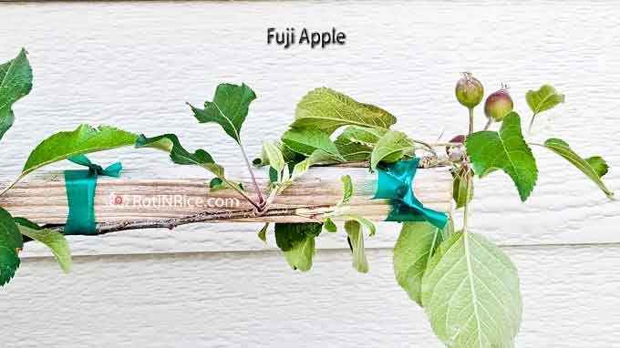 Fuji apple branch
