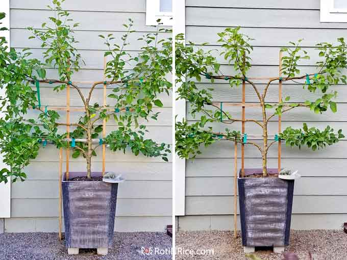 Second year before and after pruning of the 6-in-1 Espalier Apple Tree