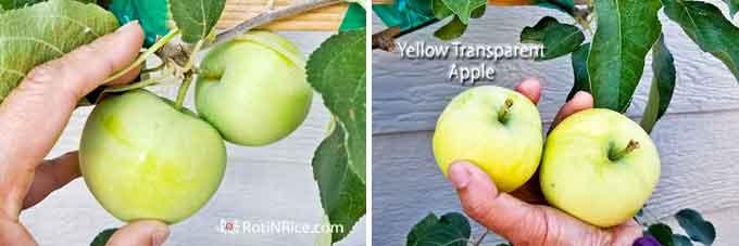 Harvesting Yellow Transparent Apples