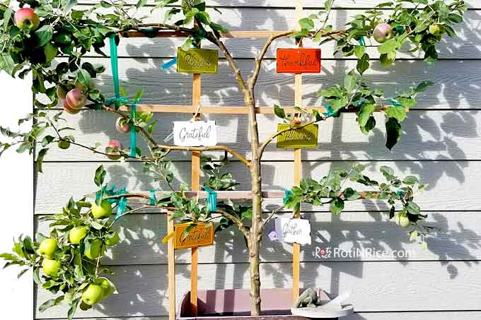 6-in-1 Espalier Apple Tree in a Container getting heavier by the day on the left side.