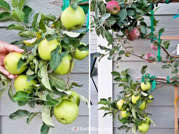 Yellow Delicious apples of the 6-in-1 Espalier Apple Tree in a Container.
