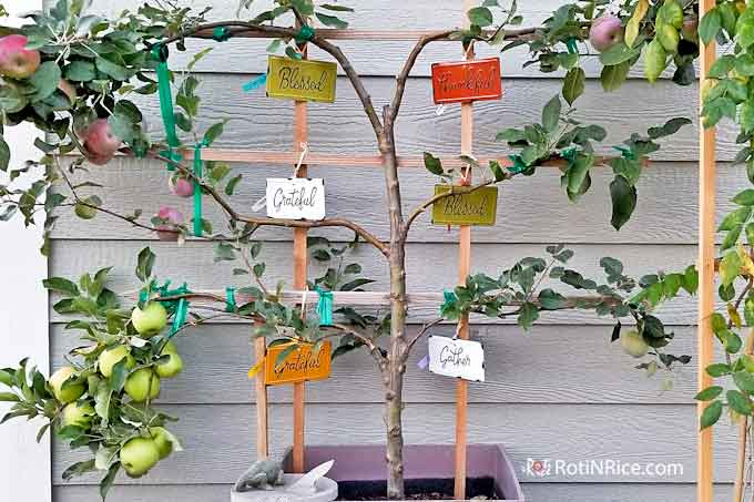 6-in-1 Espalier Apple Tree in a Container