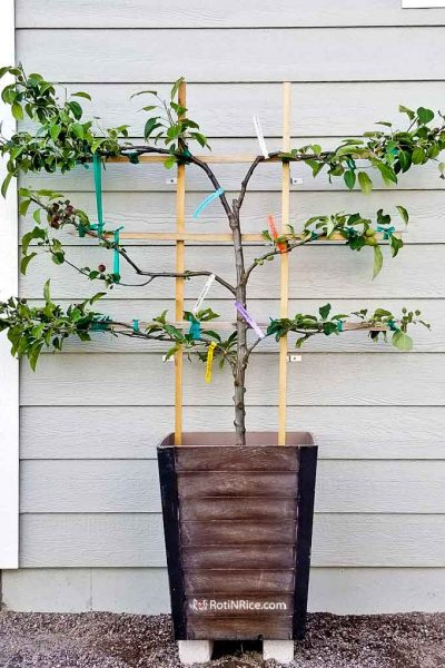 Growing this 6-in-1 Espalier Apple Tree in a Container.