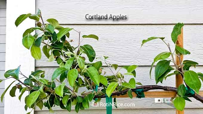 Cortland apple branch