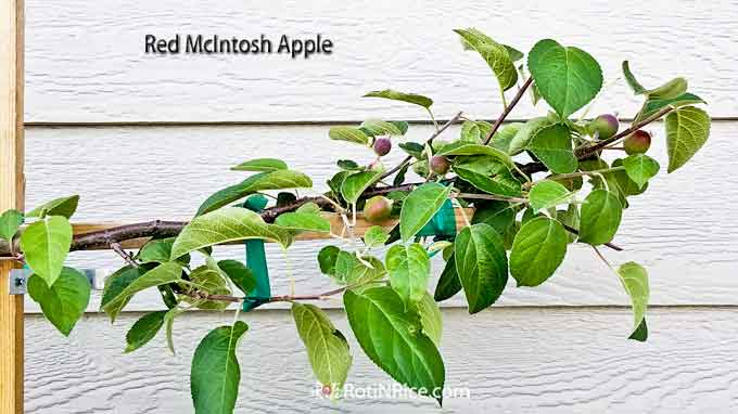 Red McIntosh apple branch