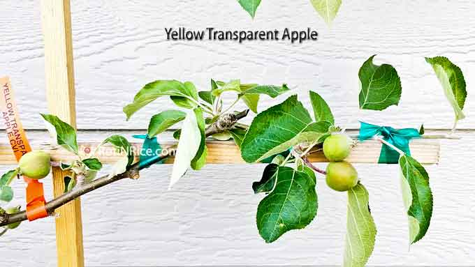 Yellow Transparent apple branch