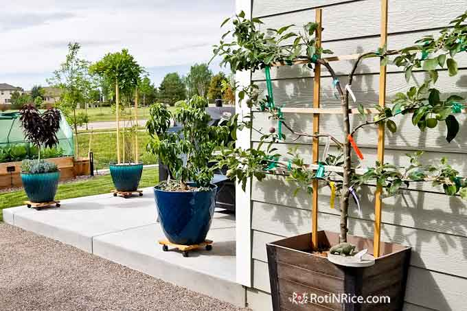 You can plant a Patio Orchard with Dwarf Fruit Trees perfect for small gardens and spaces. Many choices of dwarf fruit trees that do well in containers. | RotiNRice.com