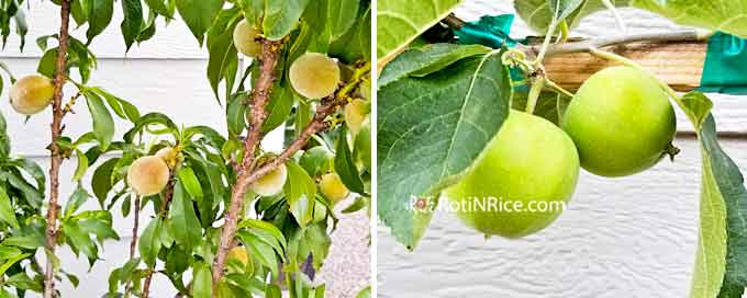 Peaches and apples on miniature peach tree and 6-in-1 espalier apple tree