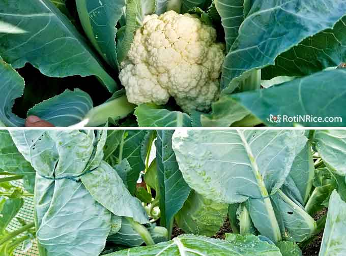 Blanching cauliflower to prevent discoloration
