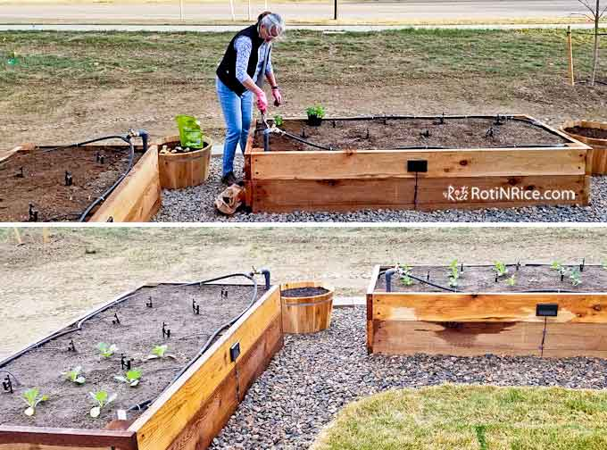 Planting vegetables in the raised-bed vegetable garden