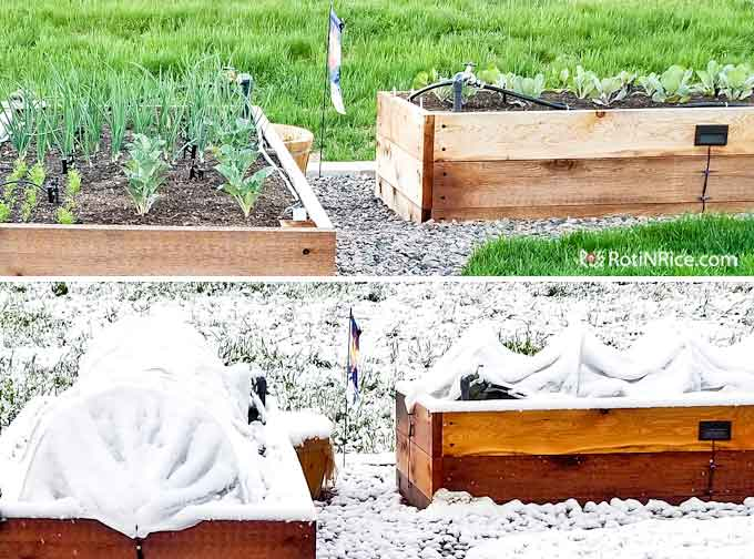 Replanting vegetables into the raised-bed vegetable garden and a late snow storm.