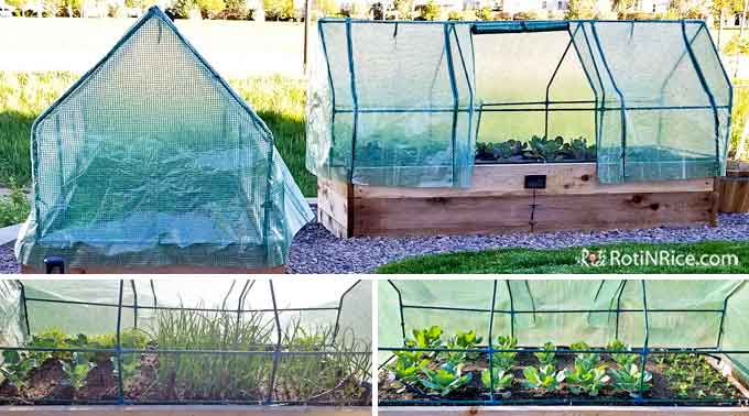 Installed portable garden greenhouses in the raised-bed vegetable garden to protect the plants from further inclement weather.