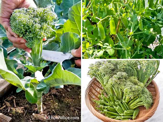 Harvest time for broccoli and sugar snap peas.
