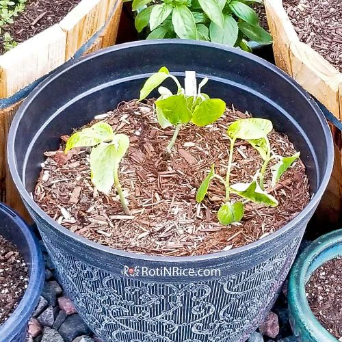 Newly transplanted kaduk (wild betel) plant in a container.