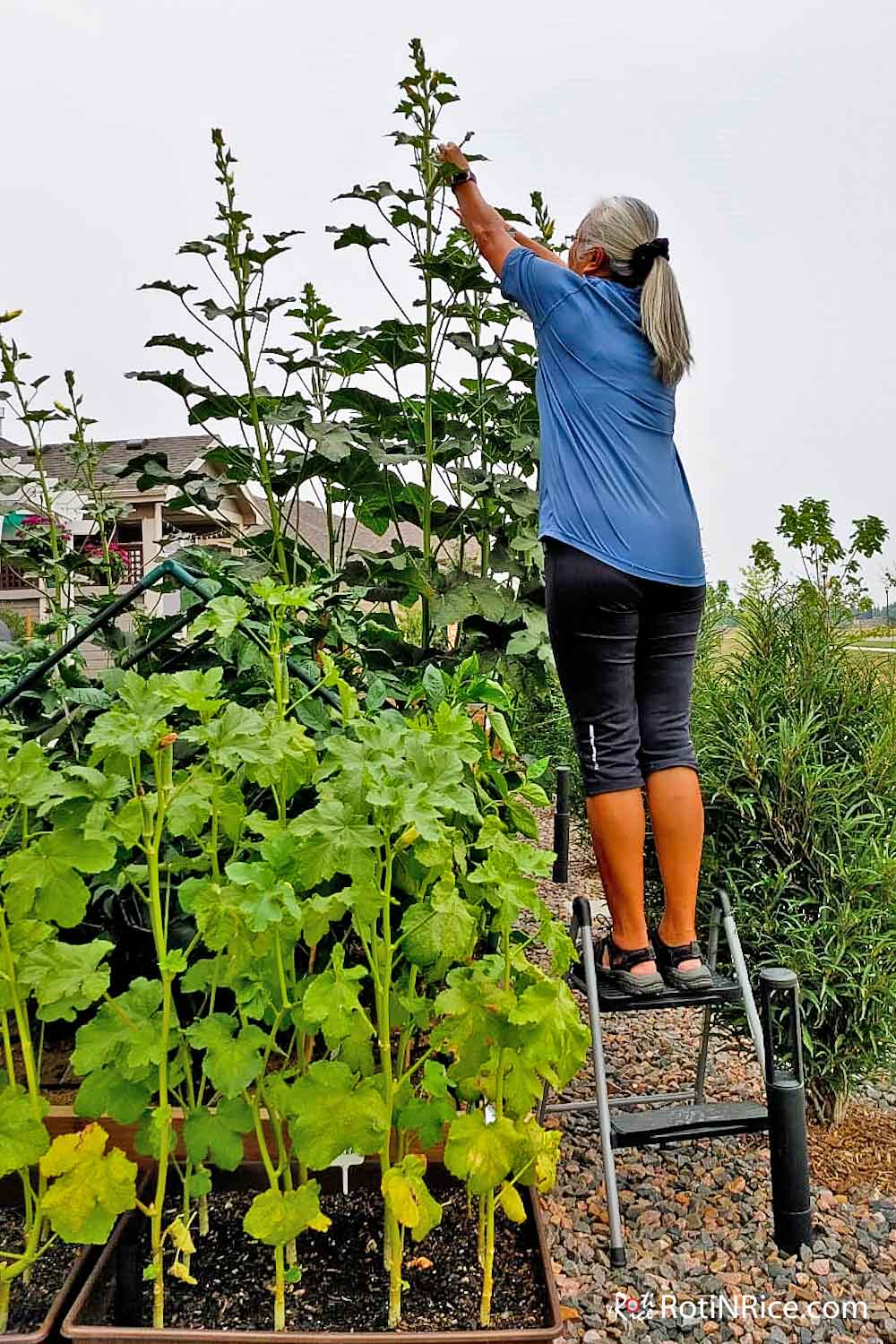 "Standing on a step ladder to harvest the okra ""trees"" in New Addition to Raised-Bed Vegetable Garden."