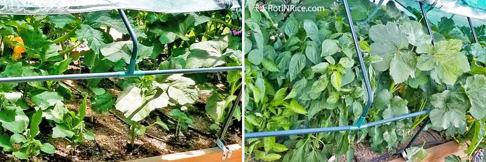 Vegetables growing well in the raised bed under portable green house.